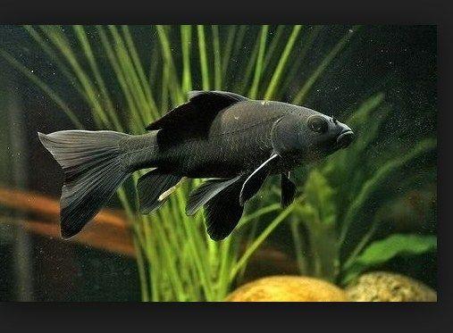 ikan komet