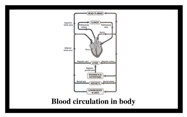 Blood circulation in body