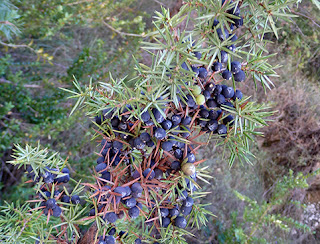 Frutos del enebro (Juniperus communis)