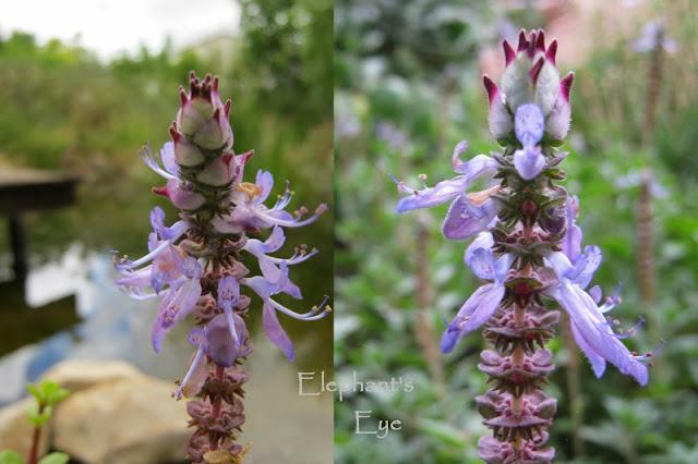 Plectranthus neochilus flowers