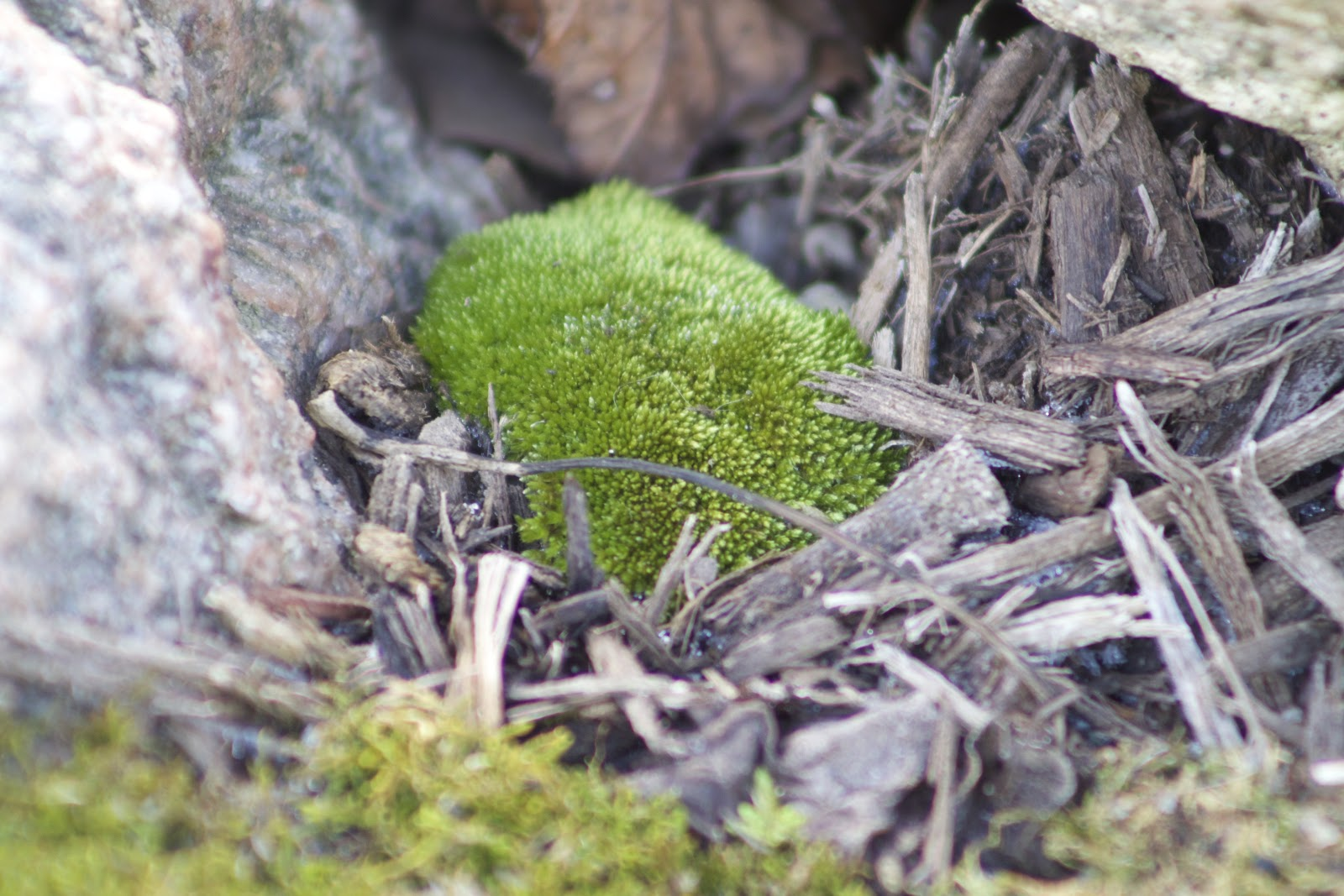 pin cushion moss clump