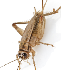 Seal or Protect your home Easy Home Remedies To Get Rid of Crickets From Your Home (How to Kill Methods)