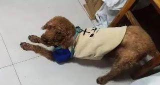 cães com dor de estomago