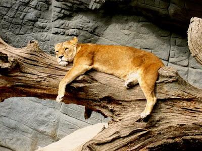 lion images hd 1080p