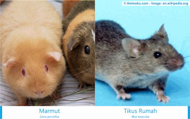 Perbedaan marmut dan tikus rumah
