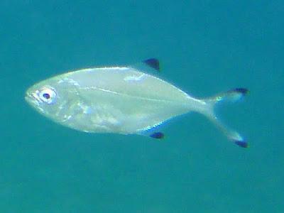 Atlantische Gabelmakrele - Trachinotus ovatus 01