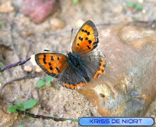 Lycaena phlaeas - Cuivré commun - Bronzé