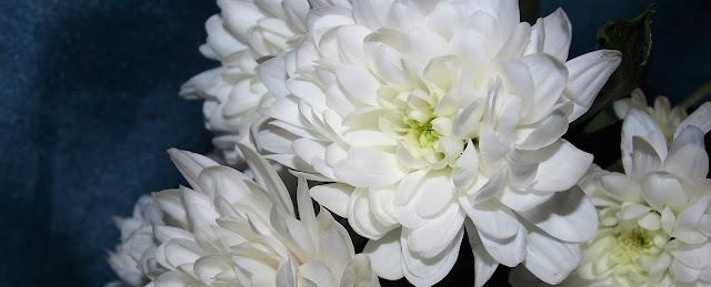 valkoinen kukka, krysanteemi