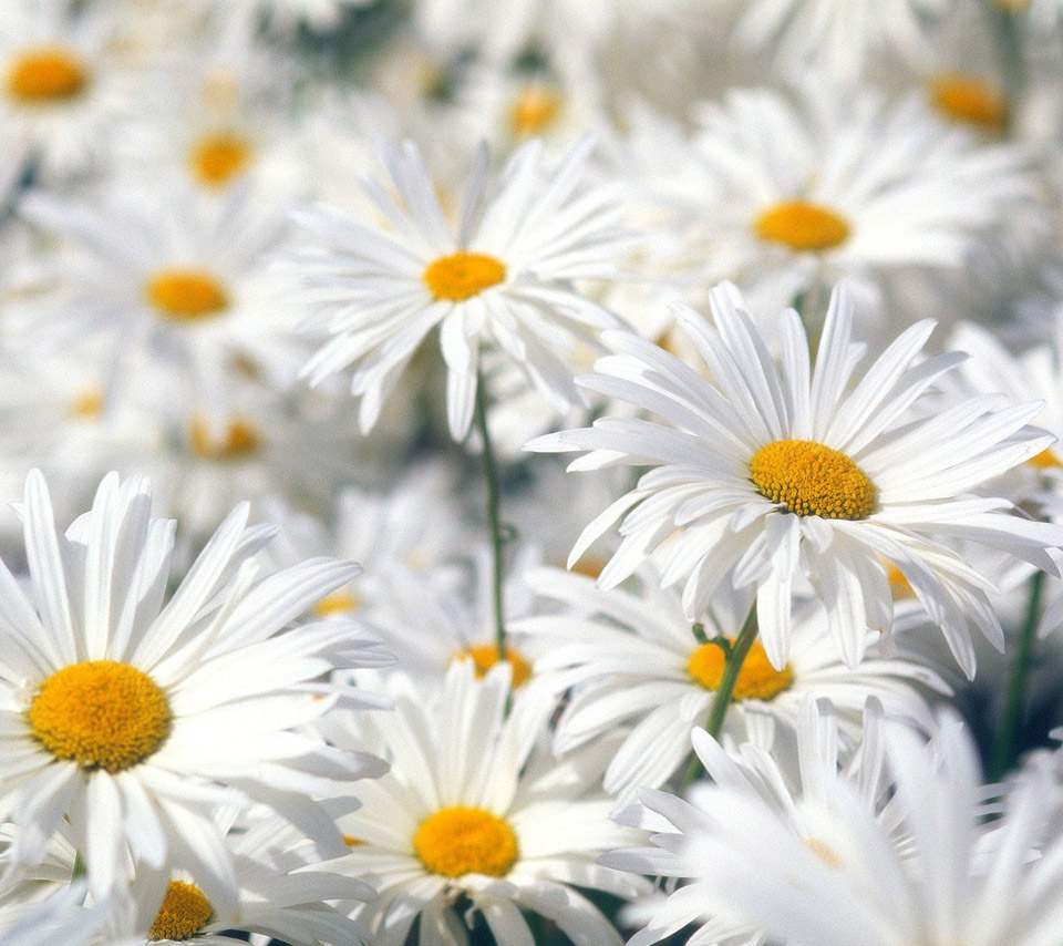 Flowers For Flower Lovers.: Daisy Flowers Desktop Wallpapers