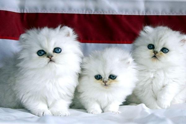 Merawat anak kucing persia