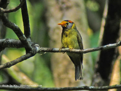 Flame templed Babbler