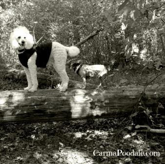 Poodle and Chihuahua standing on a fallen tree-carmapoodale