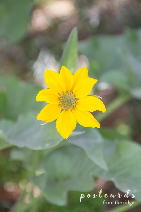 alpine sunflower at Grand Tetons National Park