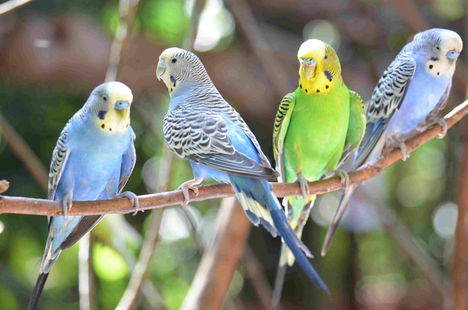 Perilaku Agresif pada burung Budgies