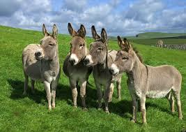 ازي تفرق بين لحم العجل البقر الضان الجاموس ولحوم الحمير الحمار  differnt between beef meat and donkey meat