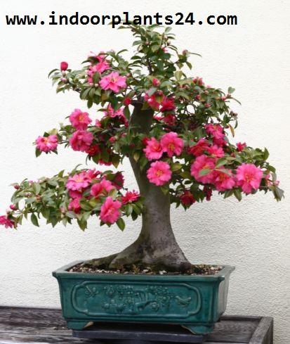 Camellia Japonica Theaceae Camellia Plant