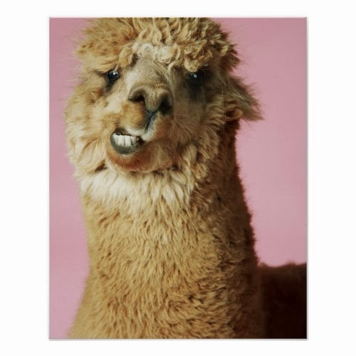 A Poster featuring a Funny Close-up Portrait of a Baby Llama