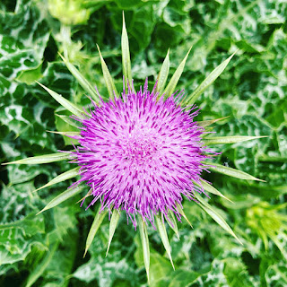 Purple milk thistle flower with spiky leaves against a background of green