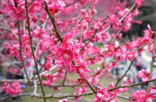 flores ameixeira