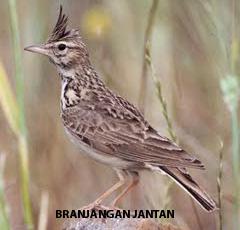Kumpulan Foto Burung Branjangan Jantan Foto Burung Kicau