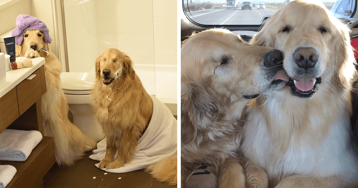 Heartwarming Pictures Of A Blind Golden Retriever And His Guide Dog Best Friend