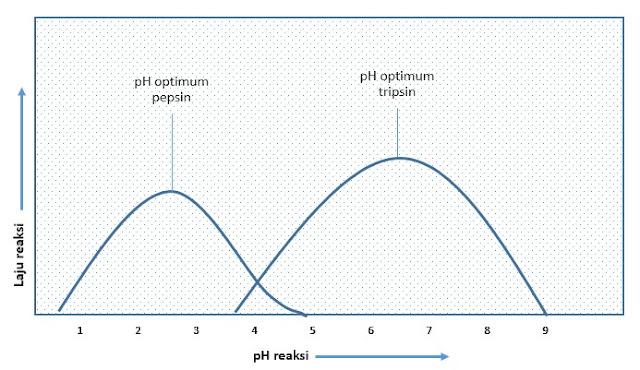 perbandingan pH normal pepsin dengan tripsin