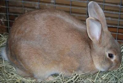 Palomino Rabbit