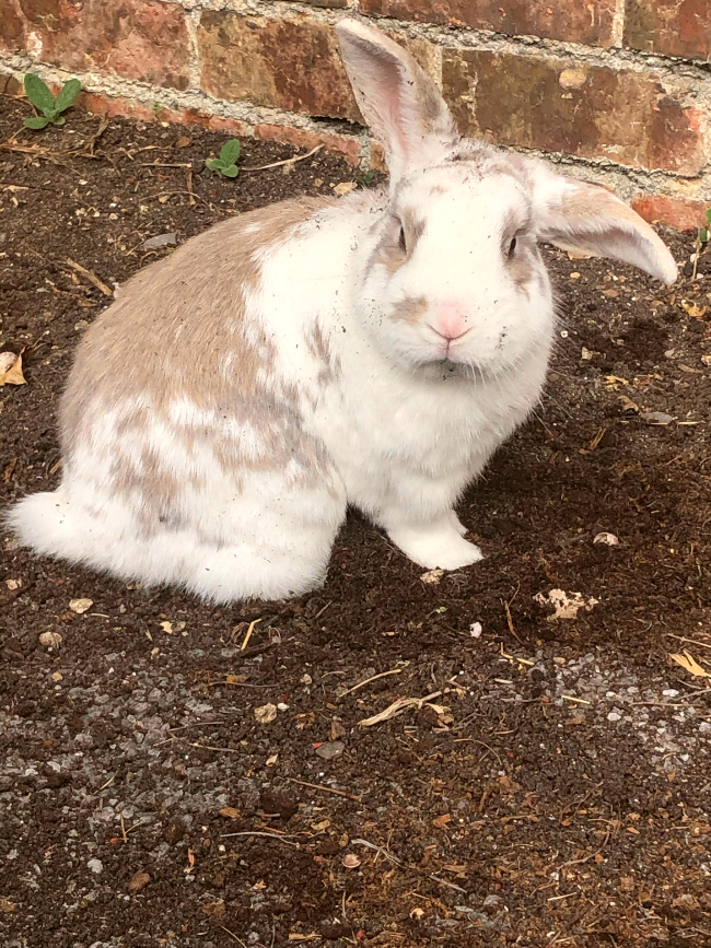 White and brown rabbit looking into the camera. There is mud on his face from digging the earth he is sat next to