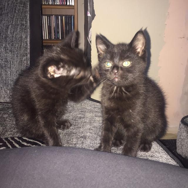 Animal fostering - life as a kitten foster mum