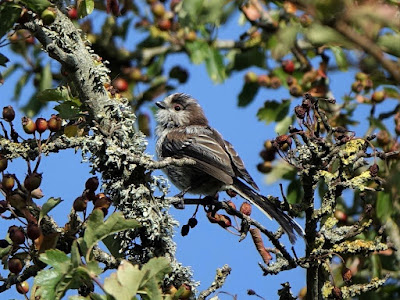 Long-Tailed Tit on Wareham Common © Trevor Warrick