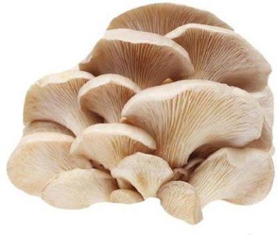 Oyster Mushroom Supplier