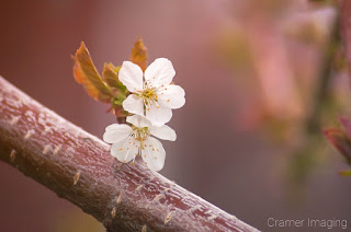 Cramer Imaging's professional quality nature photograph of two white cherry blossoms on a branch
