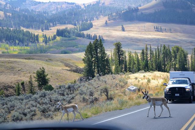 Вилоріг. Єллоустонський національний парк. Вайомінг. США (Pronghorn. Yellowstone National Park, Wyoming)
