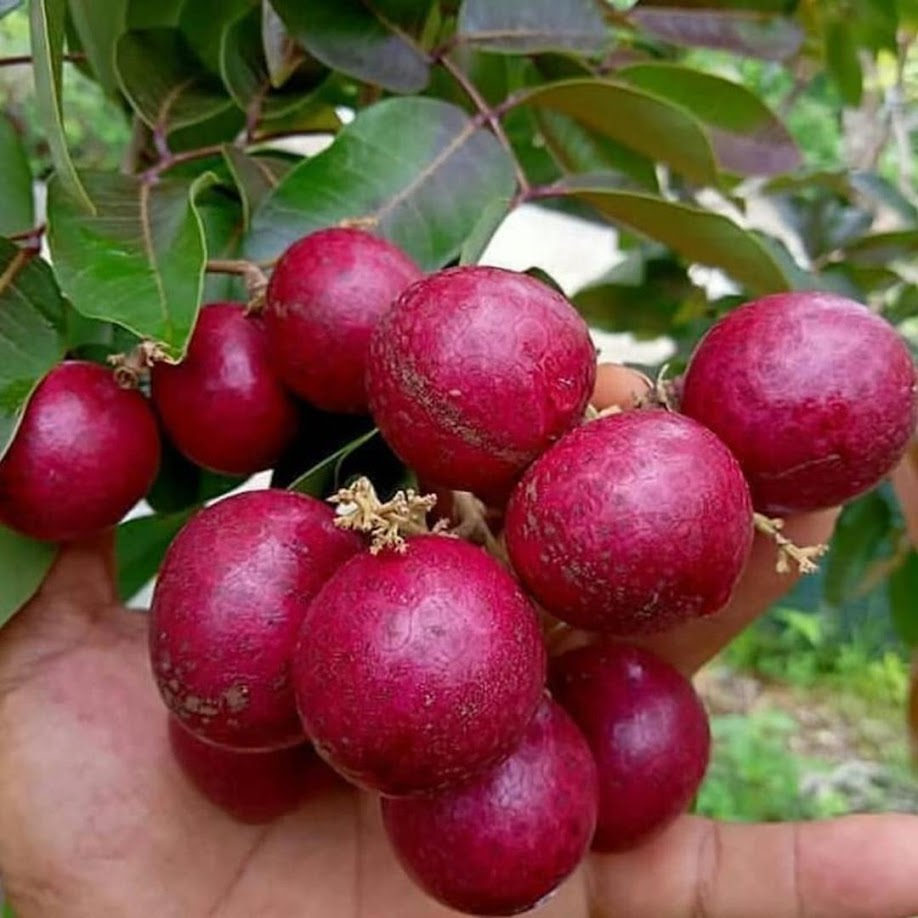 bibit kelengkeng cepat berbuah Sulawesi Selatan