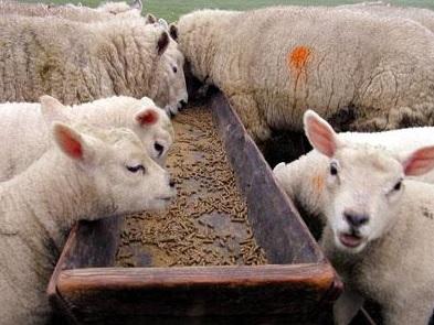 Foto de ovejas comiendo representante del ganado Ovino