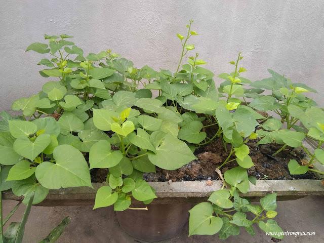 Rau lang dễ trồng và ăn quanh năm