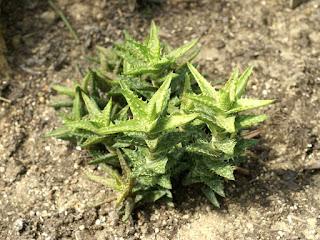 Aloe squarrosa - Aloe concinna