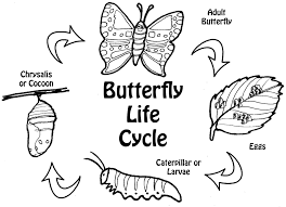 Most Popular butterfly life cycle coloring page