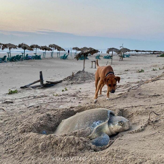 Solovino, el perrito que cuida de todos los turistas a las tortugas lora recién nacidas en México