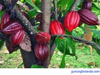 Apakah Kakao Digunakan Untuk Krim Tubuh