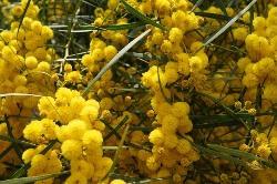 Acacia  (एकेसिया)