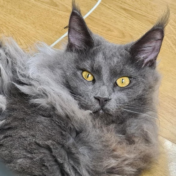 6-month-old male Maine Coon scratches everything and sucks the tip of his tail. What can the owner do?