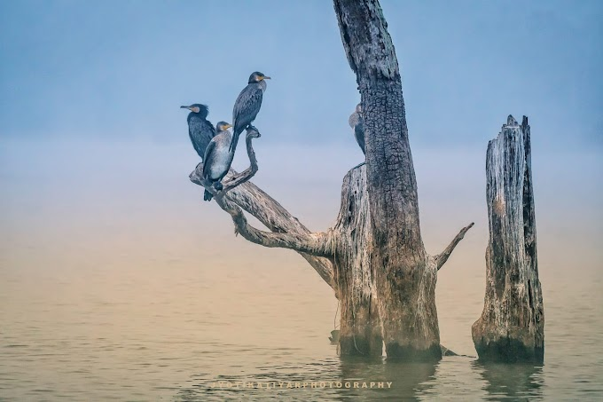 Great Cormorant Bird Sighted in Kabini back waters