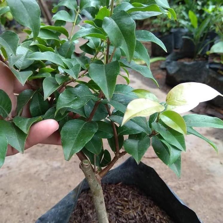 Paling Laris Bibit Tanaman Anggur Pohon Preco Okulasi Nh Banten