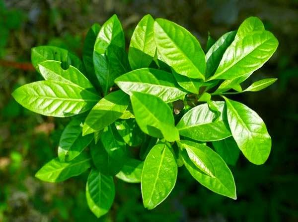 Cara langsing alami dengan daun salam