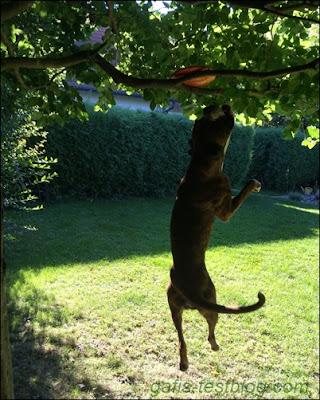Boxer Amy beim Frisbee schnappen
