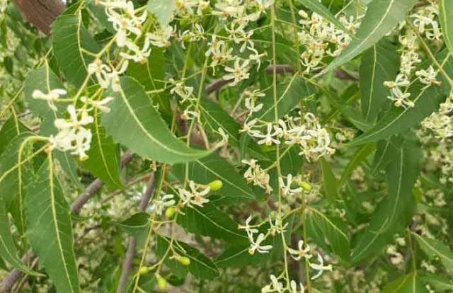 असाध्य रोगों में रामबाण इलाज है नीम का पेड़