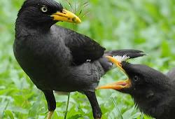 16 Perbedaan Ciri Burung Jalak Kebo Jantan Dan Betina Paling Akurat Burung Babe