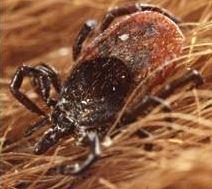 ticks arachnids