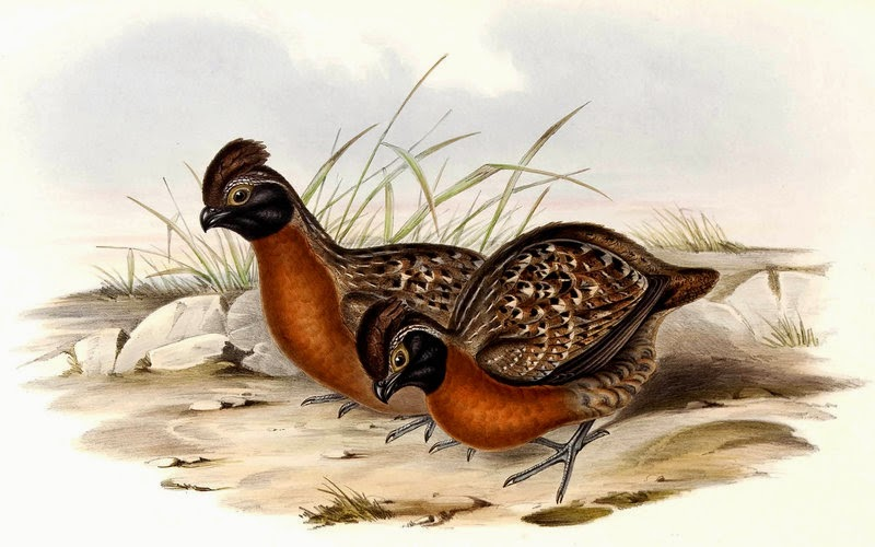 Rufous breasted Wood-quail